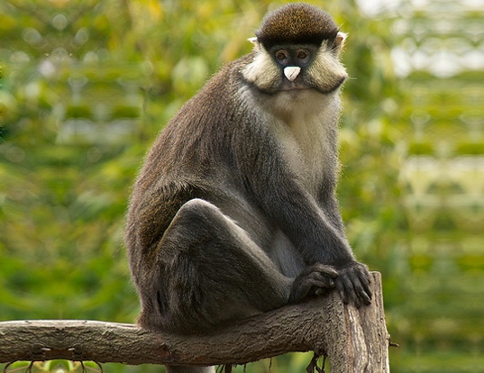 Picture of a putty-nosed monkey (Cercopithecus nictitans)