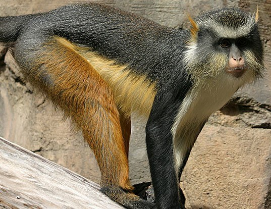 Picture of a wolf's mona monkey (Cercopithecus wolfi)