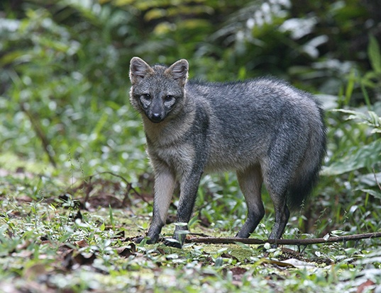 Picture of a crab-eating fox (Cerdocyon thous)