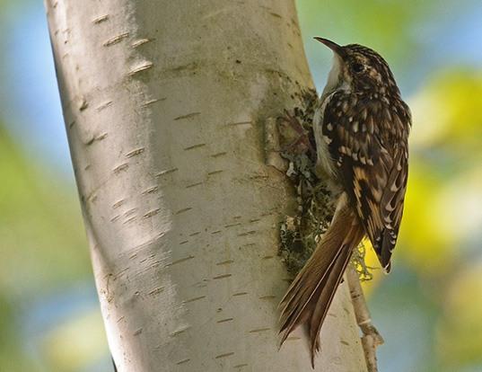 Picture of a american treecreeper (Certhia americana)