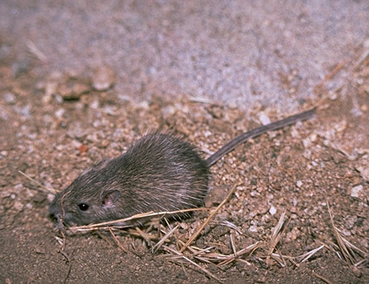 Picture of a san diego pocket mouse (Chaetodipus fallax)