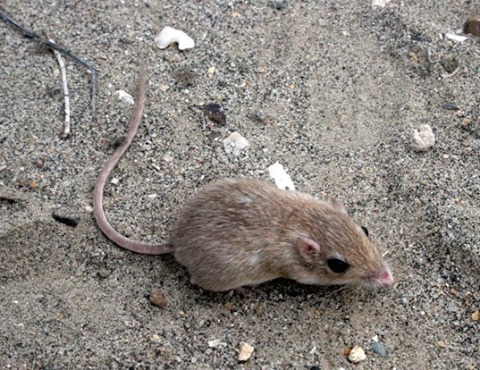 Picture of a long-tailed pocket mouse (Chaetodipus formosus)