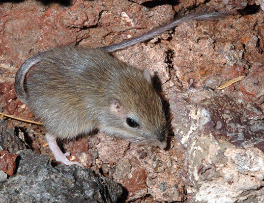 Picture of a nelson's pocket mouse (Chaetodipus nelsoni)