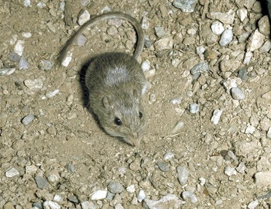 Picture of a desert pocket mouse (Chaetodipus penicillatus)