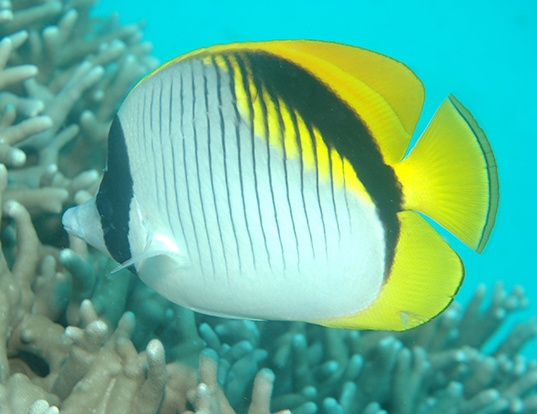 Picture of a lined butterflyfish (Chaetodon lineolatus)