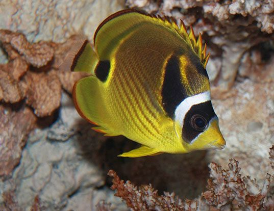 Picture of a redstriped butterflyfish (Chaetodon lunula)