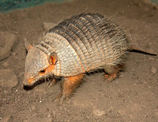 Picture of a andean hairy armadillo (Chaetophractus nationi)
