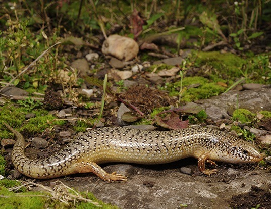Picture of a ocellated bronze skink (Chalcides ocellatus)