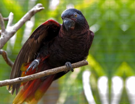 Picture of a black lory (Chalcopsitta atra)