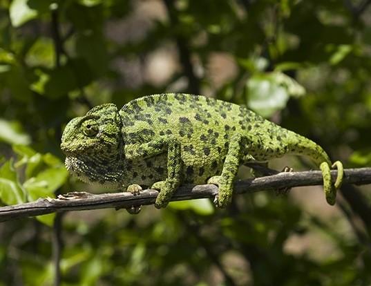 Picture of a mediterranean chameleon (Chamaeleo chamaeleon)