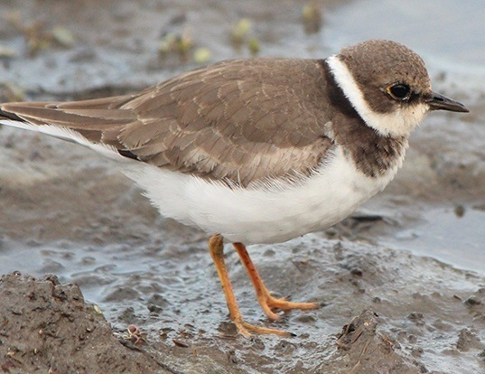 Picture of a little ringed plover (Charadrius dubius)