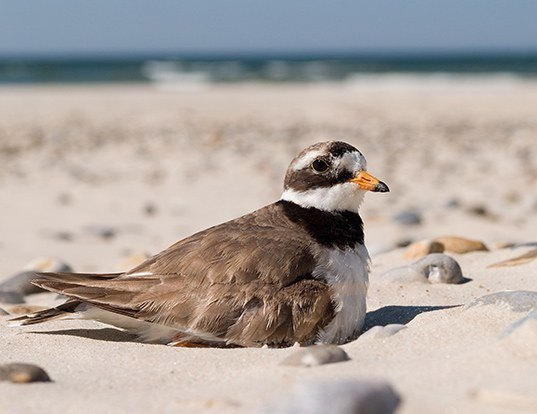 Picture of a ringed plover (Charadrius hiaticula)