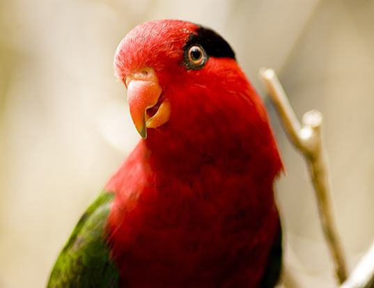 Picture of a papuan lorikeet (Charmosyna papou)