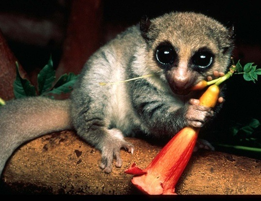 Picture of a western fat-tailed dwarf lemur (Cheirogaleus medius)