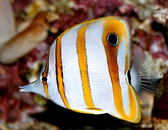 Picture of a longnosed butterflyfish (Chelmon rostratus)
