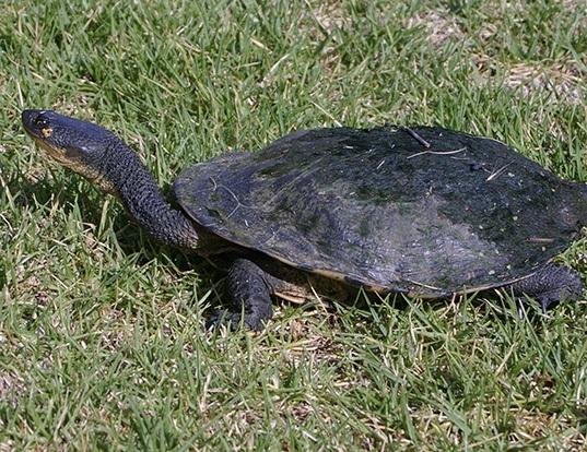 Picture of a snakeneck turtle (Chelodina longicollis)