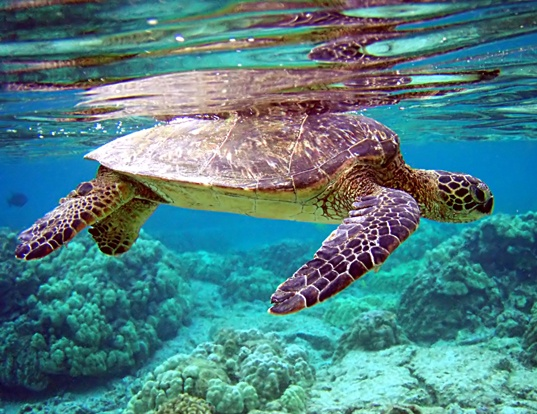 Picture of a green turtle (Chelonia mydas)