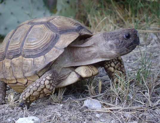Picture of a chaco tortoise (Chelonoidis chilensis)