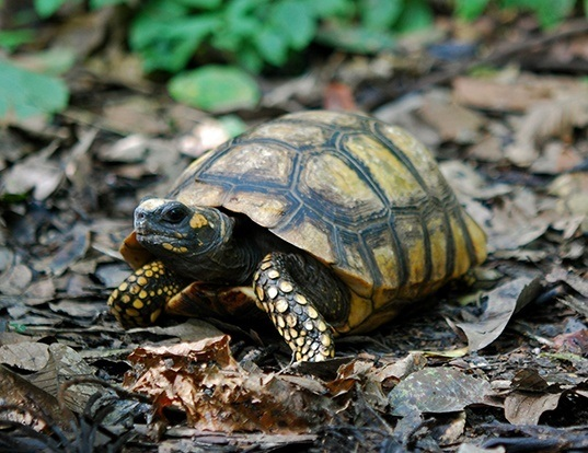 Picture of a yellow-footed tortoise (Chelonoidis denticulata)