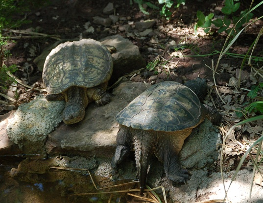 Picture of a central american snapping turtle (Chelydra serpentina)