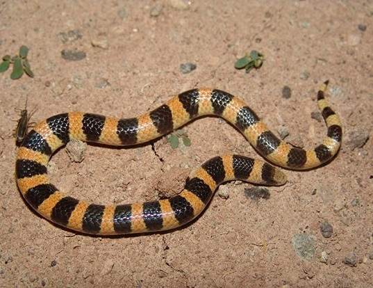 Picture of a sand snake (Chilomeniscus stramineus)