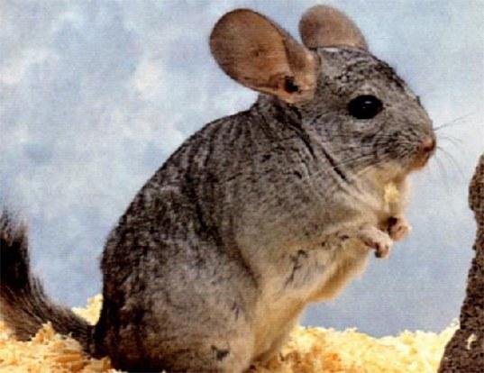 Picture of a short-tailed chinchilla (Chinchilla chinchilla)