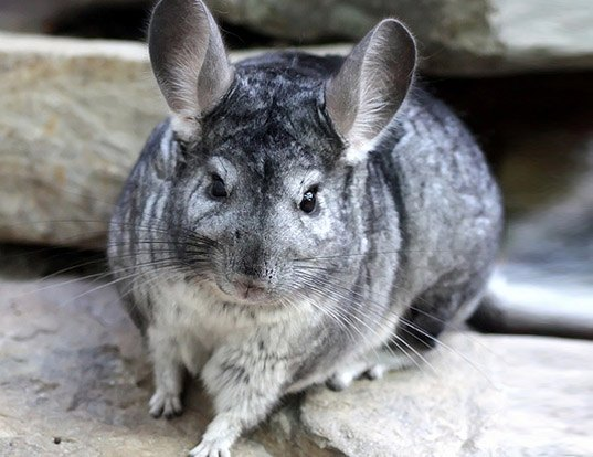 Long Tailed Chinchilla Life Expectancy