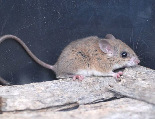 Picture of a pencil-tailed tree mouse (Chiropodomys gliroides)
