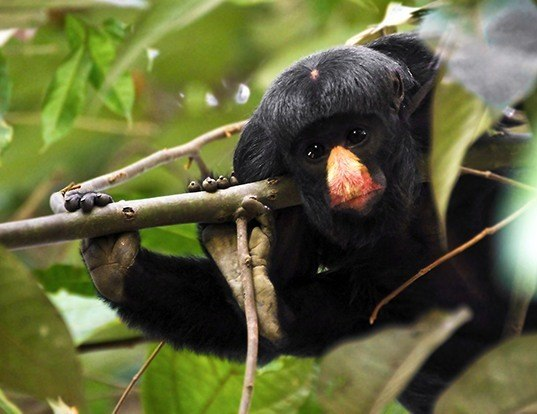 Picture of a white-nosed bearded saki (Chiropotes albinasus)