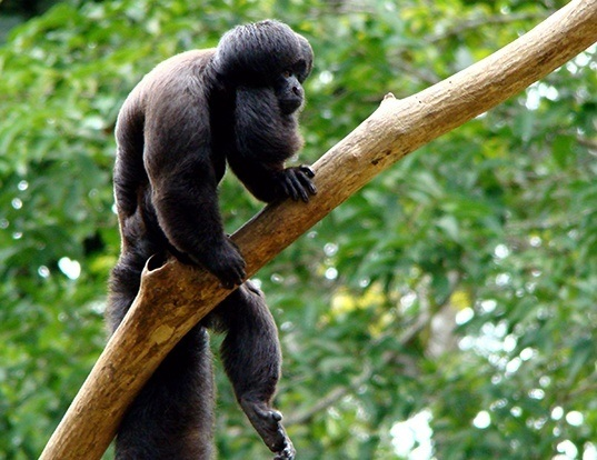 Picture of a black bearded saki (Chiropotes satanas)