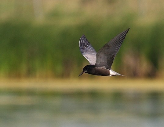 Picture of a black tern (Chlidonias niger)