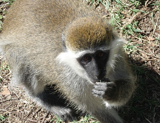 Picture of a grivet monkey (Chlorocebus aethiops)