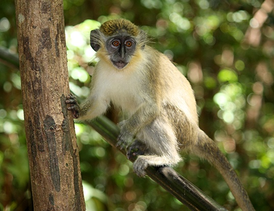 Picture of a green monkey (Chlorocebus sabaeus)