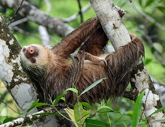 Picture of a hoffmann's two-toed sloth (Choloepus hoffmanni)
