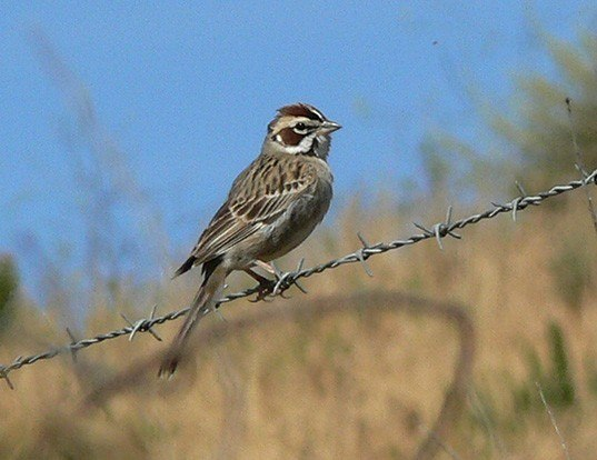 Picture of a lark sparrow (Chondestes grammacus)