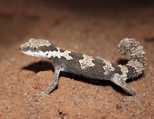 Picture of a giant ground gecko (Chondrodactylus angulifer)