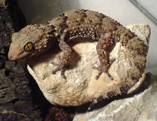Picture of a bibron's thick-toed gecko (Chondrodactylus bibronii)