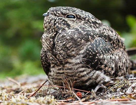 Picture of a nighthawk (Chordeiles minor)
