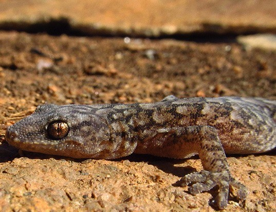 Picture of a marbled gecko (Christinus marmoratus)