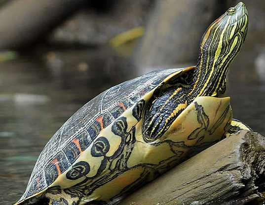 Picture of a central american adorned terrapin (Chrysemys ornata)