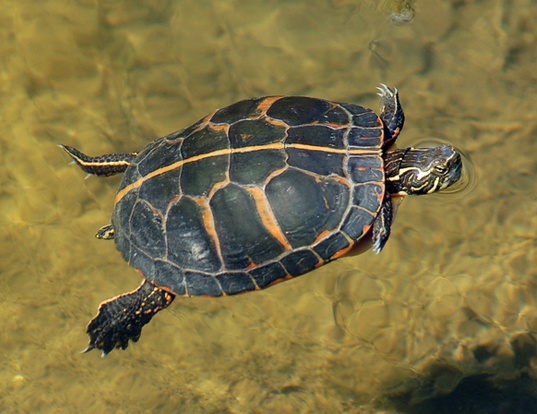 Picture of a southern painted turtle (Chrysemys picta dorsalis)