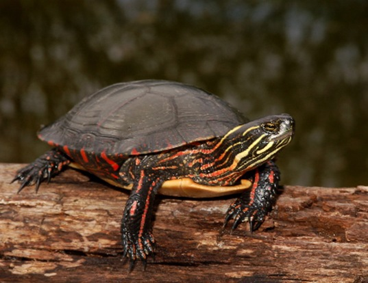 Picture of a midland painted turtle (Chrysemys picta marginata)