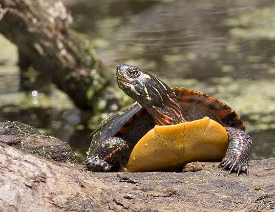 Picture of a painted turtle (Chrysemys picta)