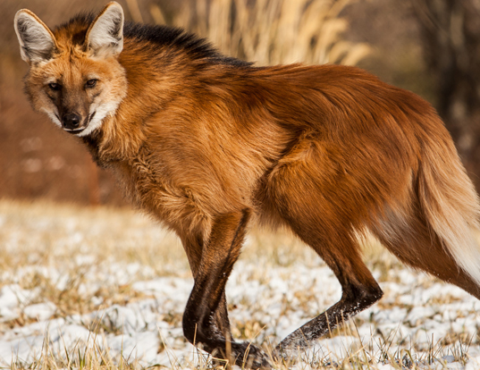 Picture of a maned wolf (Chrysocyon brachyurus)