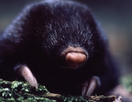 Picture of a giant golden mole (Chrysospalax trevelyani)