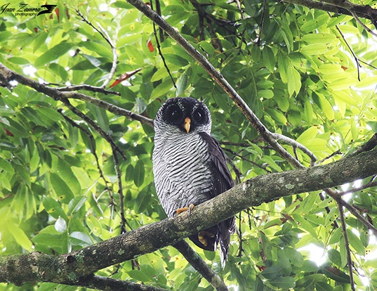 Picture of a black-and-white owl (Ciccaba nigrolineata)