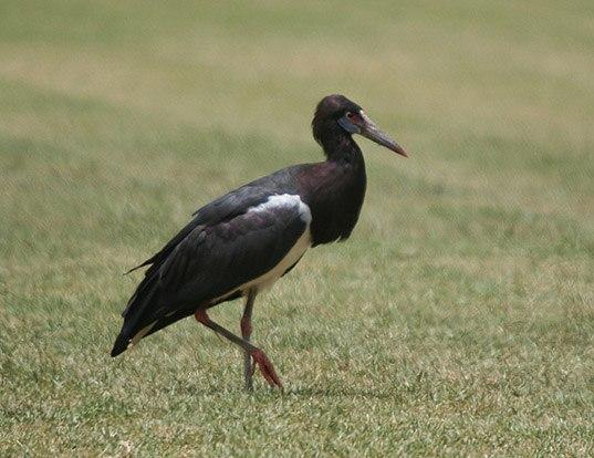 Picture of a abdim's stork (Ciconia abdimii)
