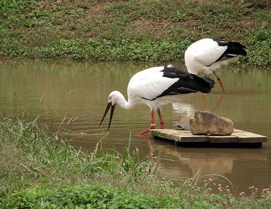 Picture of a oriental stork (Ciconia boyciana)