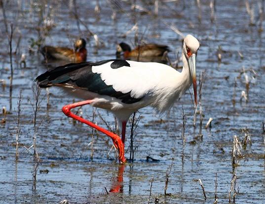 Picture of a maguari stork (Ciconia maguari)