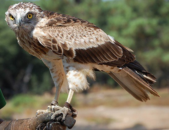 Picture of a short-toed snake-eagle (Circaetus gallicus)